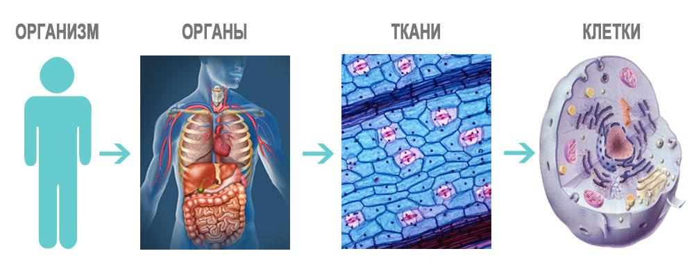 iz-chego-sostoit-organizm-chelolveka